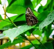 Morpho peleides butterfly Stock Photos