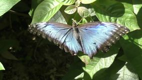 Morpho peleides butterfly stock video footage