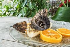 Morpho peleides butterfly on orange and banana fruits Royalty Free Stock Image
