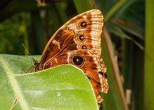Morpho Peleides butterfly on a leaf royalty free stock images