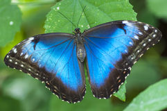 Morpho peleides butterfly Stock Photo