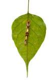Morpho Peleides Caterpillar Royalty Free Stock Photos