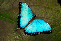 Morpho peleides Common Morpho butterfly Royalty Free Stock Images