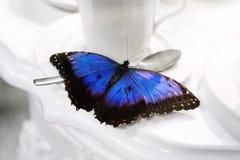Morpho-peleides Fjäril i terasten Royaltyfria Bilder