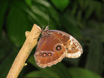 Morpho peleides Stock Photo
