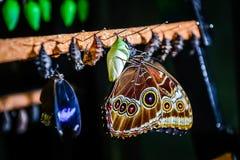 Morpho peleides motyl i chryzalida obrazy stock