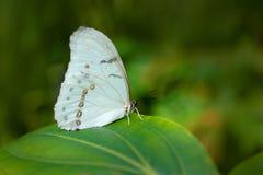 Morpho polyphemus, den vita morphoen, vit fjäril av Mexico och Central America Stor vit fjäril som sitter på gröna sidor, Royaltyfri Bild