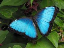 Morpho pospolity Błękitny Motyl Fotografia Royalty Free