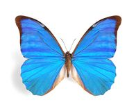 Morpho rhetenor Royalty Free Stock Photography