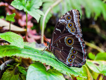 Morpho-Schmetterling Stockbilder
