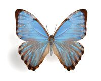 Morpho thamyris Royalty Free Stock Photo