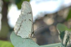 Morpho white (morpho polyphemus) on leaf Royalty Free Stock Images