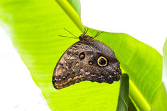 Morphoo butterfly. On green leaf Stock Images