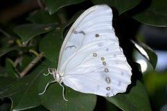 morphopolyphemuswhite royaltyfria foton