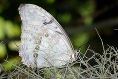 morphopolyphemuswhite arkivfoto