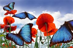 Morphos über einem Mohnblumefeld Lizenzfreie Stockfotografie