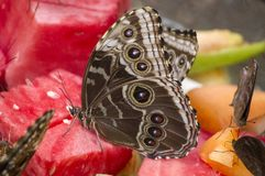 Morphos fjäril Arkivfoto