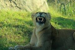 morra för lion arkivbilder