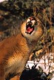morra för lionberg arkivbild