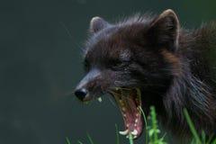 Morrande för arktisk räv royaltyfri foto