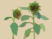 Morre o girassol Grupo do vetor de girassóis e de folhas tirados mão, ilustração stock
