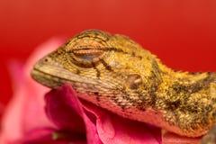 Morreu o lagarto oriental do jardim Foto de Stock