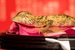 Morreu o lagarto oriental do jardim Imagem de Stock Royalty Free