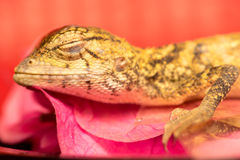 Morreu o lagarto oriental do jardim Fotos de Stock Royalty Free