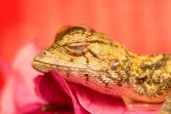 Morreu o lagarto oriental do jardim Imagens de Stock Royalty Free