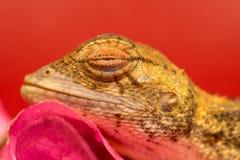 Morreu o lagarto oriental do jardim Fotografia de Stock Royalty Free
