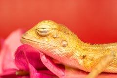 Morreu o lagarto oriental do jardim Imagens de Stock