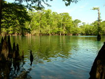 Morrison Spring. Looking through the swampy cypress knees into the crystal clear waters at Morrison Spring Stock Photos