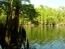 Morrison Spring. Looking through the swampy cypress knees into the crystal clear waters at Morrison Spring Stock Images