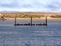 Morro海湾-加利福尼亚海獭  免版税图库摄影