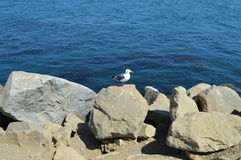 Morro Bay Duck. Duck on boulders at Morro Bay California Royalty Free Stock Photos