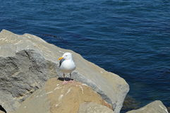 Morro Bay Duck. Duck on boulders at Morro Bay California Stock Photo