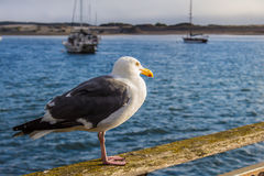 Morro Bay Gull. A gull on a dock on the Morro Bay coastline Royalty Free Stock Photo
