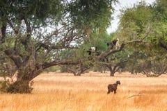 在领域的Morrocan山羊 免版税库存照片