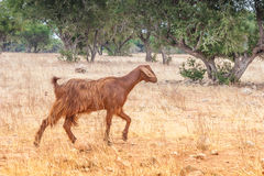 Morrocan goats in the field Stock Photos