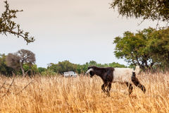 Morrocan goats in the field Royalty Free Stock Photo