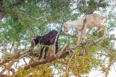 Morrocan goats in the field Stock Photography