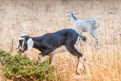 Morrocan goats in the field Royalty Free Stock Photos