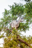 Morrocan goats in the field Royalty Free Stock Photography