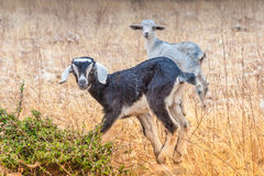 Morrocan goats in the field Stock Image