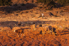 Morrocan goats in the field. And among the trees Stock Images