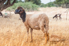 Morrocan sheep in the field Royalty Free Stock Image