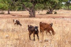 Morrocan-Ziegen auf dem Gebiet Stockfotos