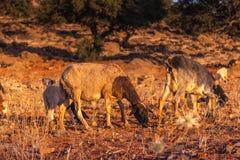 Morrocan-Ziegen auf dem Gebiet Stockbilder