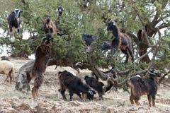 吃圆筒芯的灯坚果的山羊在Morroco 免版税库存图片