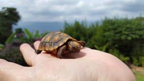 Morrocoy, tortuosobaby Stock Afbeeldingen